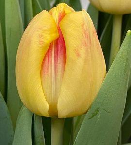 Buckingham bloem